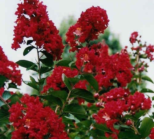 30 Dwarf Red Crape Myrtle Seeds-1195C
