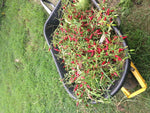 10 Cajun Tobasco Pepper Seeds-1282