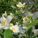 1333 * 7 Sweet Mock Orange Jasmine seeds * Intoxicating sweet citrus fragrance
