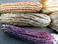 1339 * Ornamental Pod Corn * 15 Seeds * Each kernel is enclosed in a tiny husk! Super Rare. …
