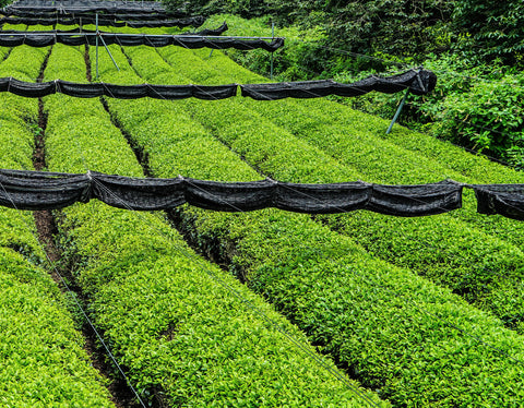 Matcha vs green tea fields