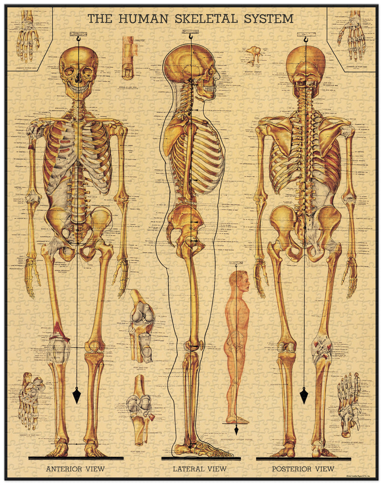 Load image into Gallery viewer, Cavallini & Co. Skeletal System 1000 Piece Vintage Puzzle