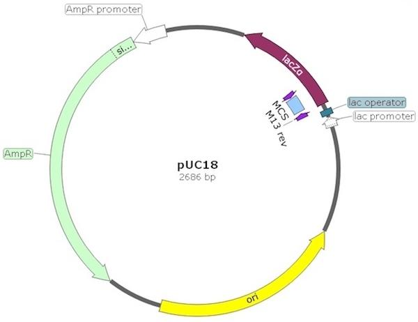 pUC18 Plasmid - Cloning of Large DNA Fragments - Ampicillin Resistant | Amid Biosciences|