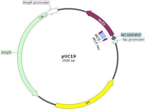 pUC19 DNA Plasmid Cloning Vector in E.coli. Lactose-negative, ampicillin-resistant. Bacterial Transformation control