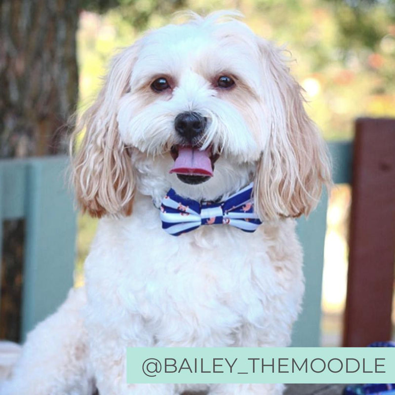 Blue and White Dog Collar with Bow Tie. Cavoodle Dog Wearing Bow Tie.