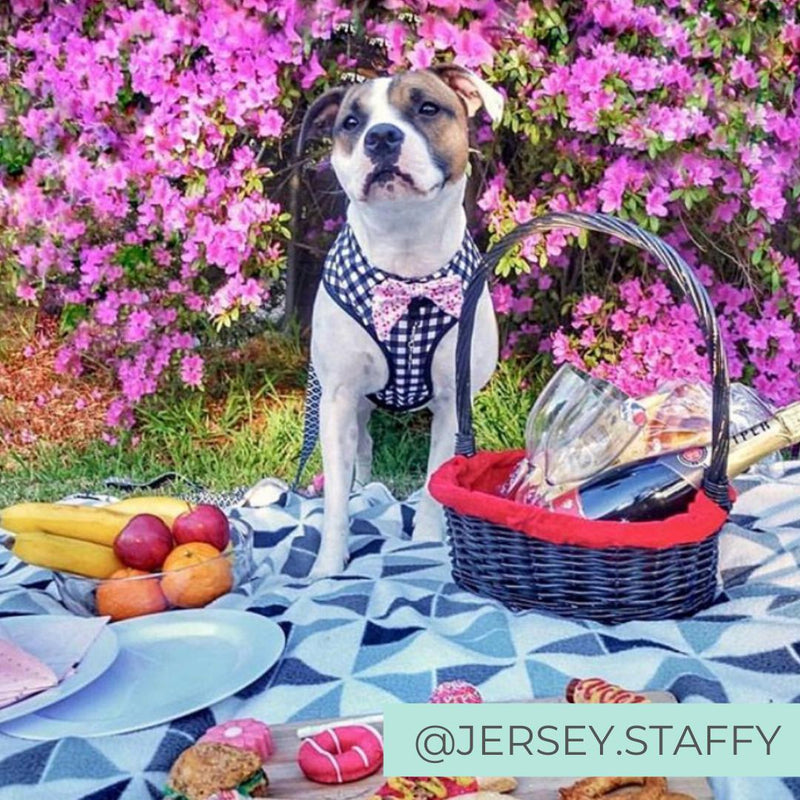 Staffy Dog wearing Dog Harness Shirt with Gingham Print and Pink Bow Tie designed in Australia having a birthday picnic