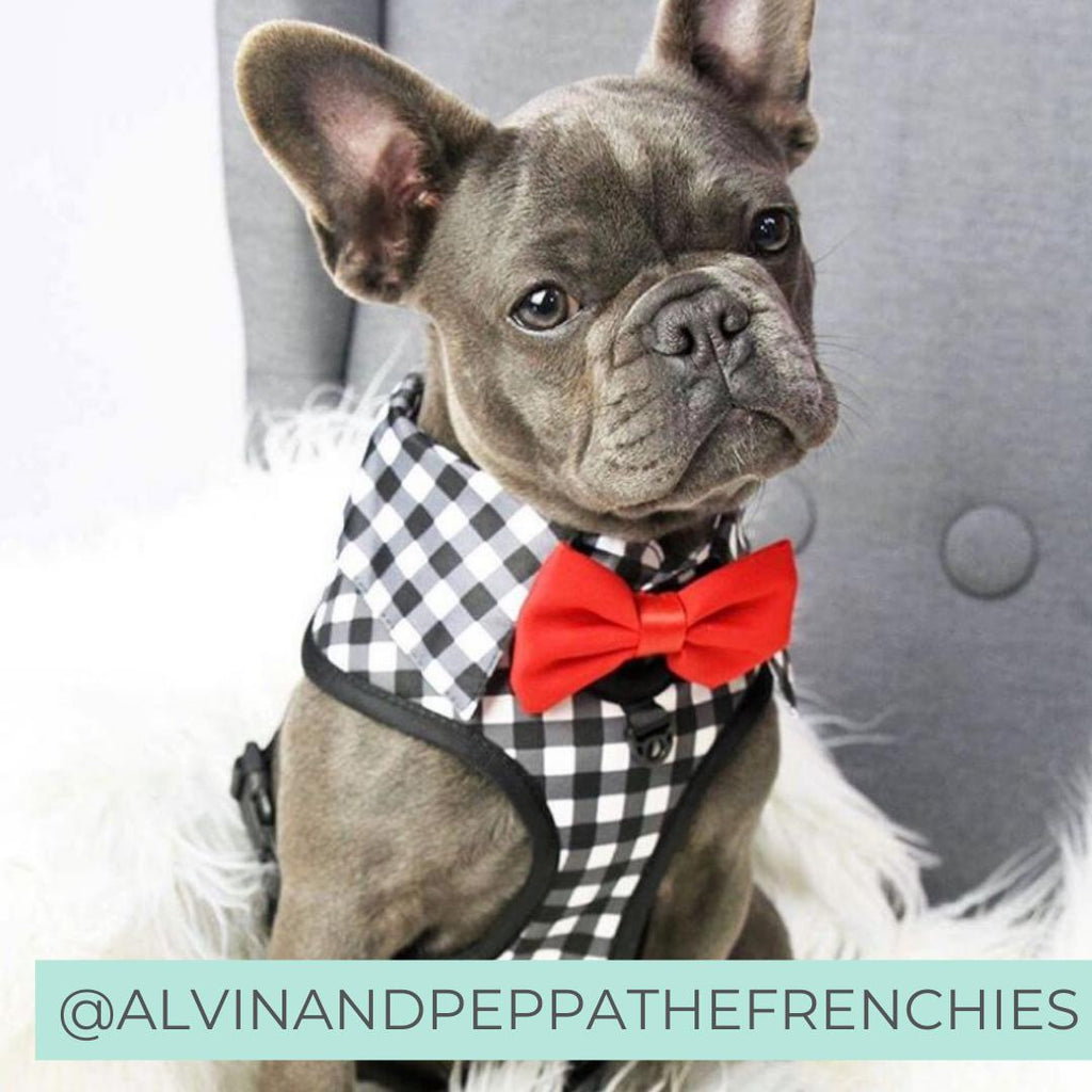 French Bulldog wearing Dog Harness Shirt with Gingham Print and Red Bow Tie. Work and wedding outfit for dogs. Designed in Australia.