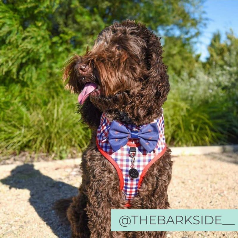 Labradoble wearing Checkered Blue Red White Shirt Dog Harness with Bow Tie Designed in Australia. Work and wedding outfit for dogs.