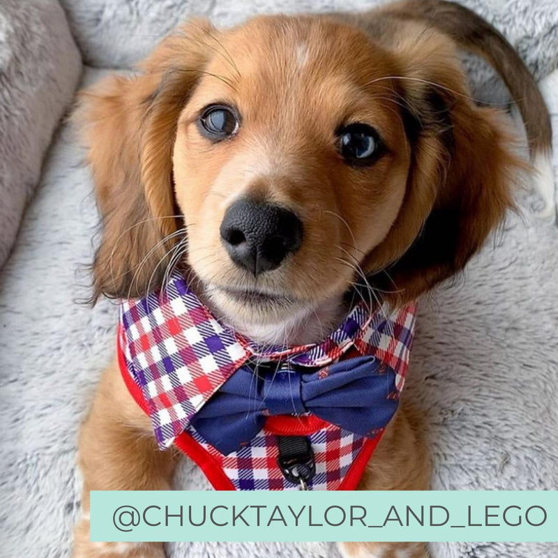 Dachshund puppy wearing Checkered Blue Red White Shirt Dog Harness with Bow Tie Designed in Australia. Work and wedding outfit for dogs.
