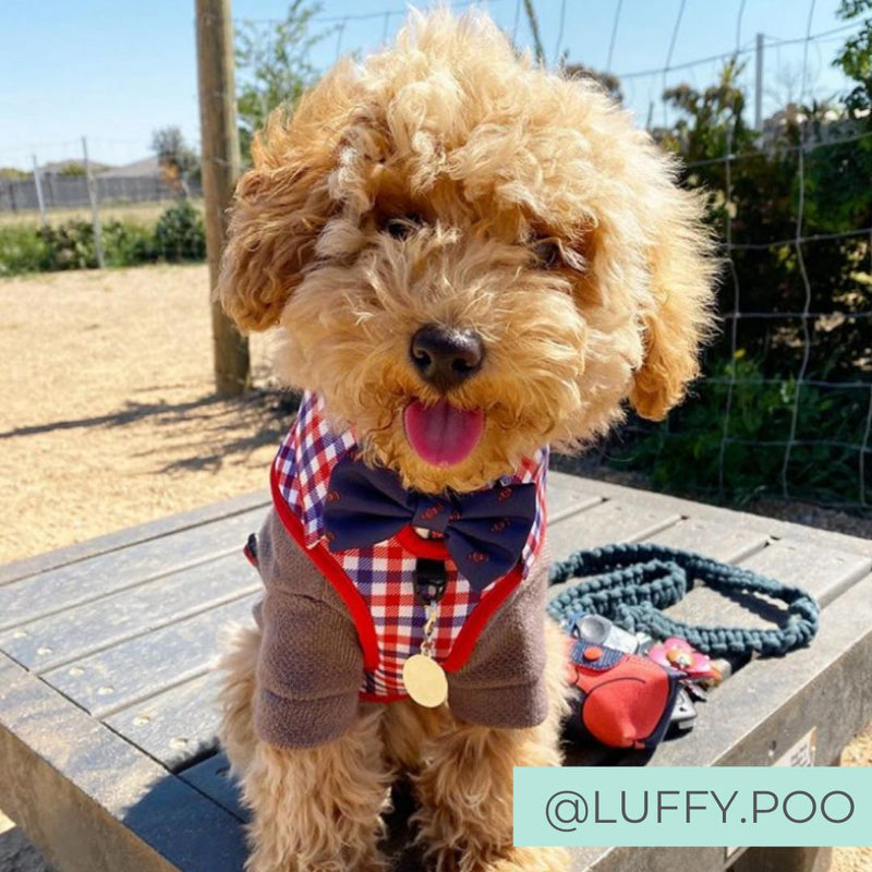 Poodle wearing Checkered Blue Red White Shirt Dog Harness with Bow Tie Designed in Australia. Work and wedding outfit for dogs.