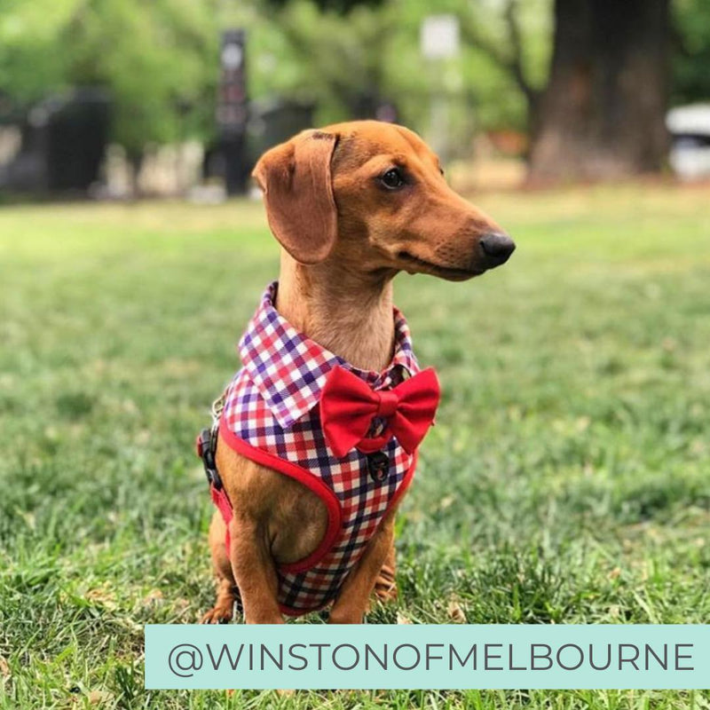 Dachshund wearing Checkered Blue Red White Shirt Dog Harness with Bow Tie Designed in Australia. Work and wedding outfit for dogs.