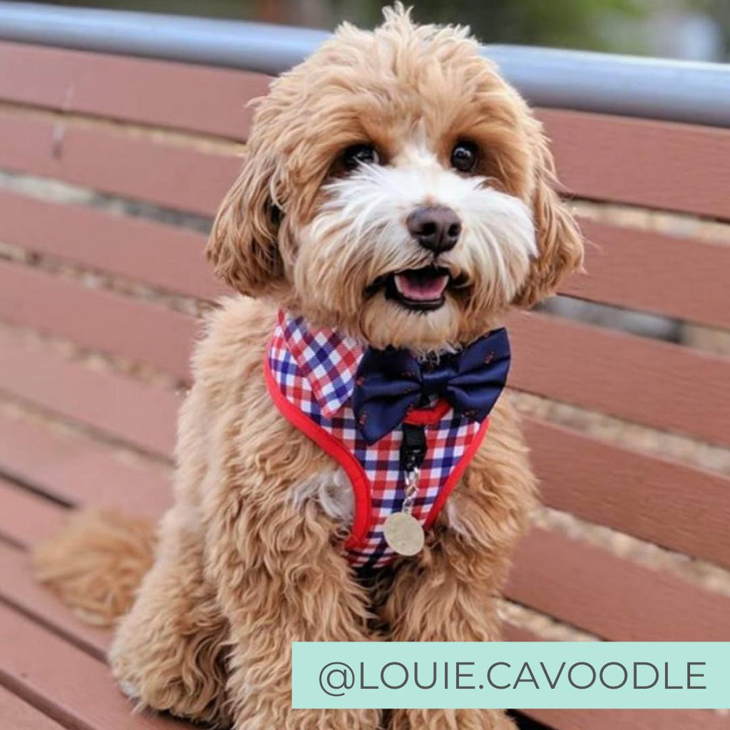Cavooding wearing Checkered Blue Red White Shirt Dog Harness with Fire Hydrant Bow Tie Designed in Australia. Work Wedding outfit for Dogs.