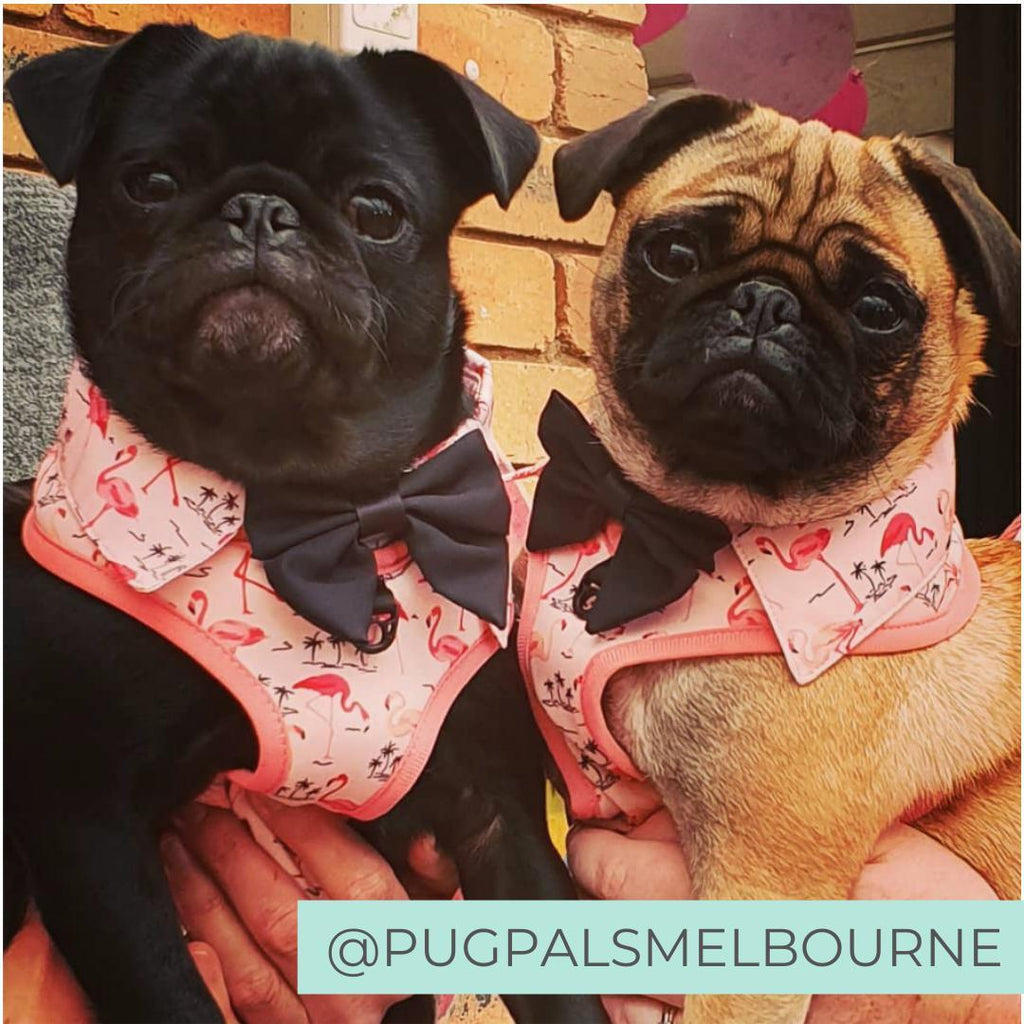 Pugs wearing Pink Party shirt Dog Harness with flamingo print and bow tie. Dog party shirt outfit. Summer dog harness designed in Australia.