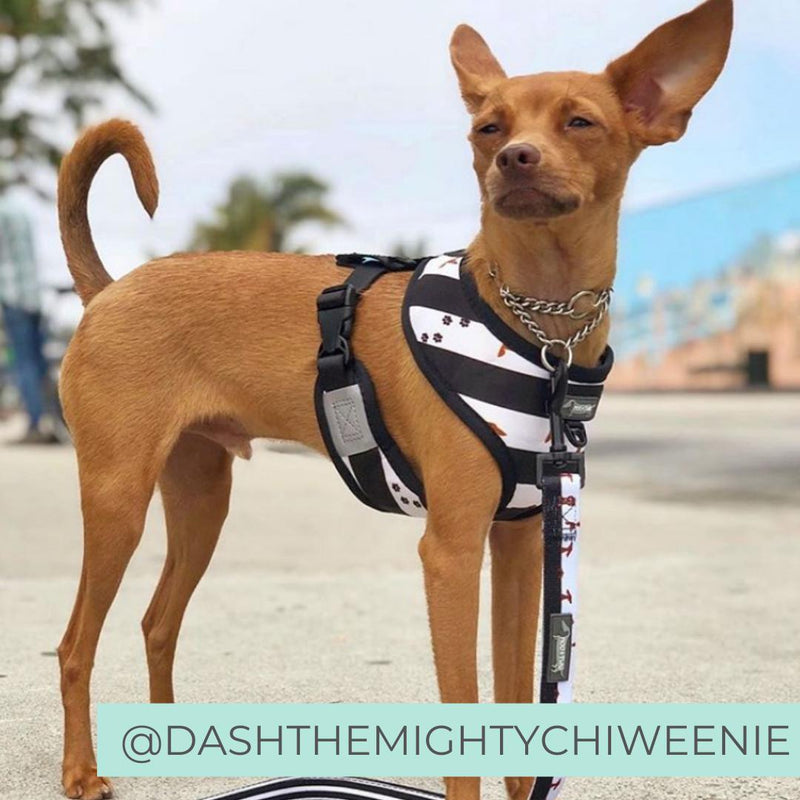Reversible Dog Harness - Black and White Stripe Dachshund Dog Harness - Best Harness for Dachshunds - Dachshund Dog Harness - Dachshund wearing dog harness