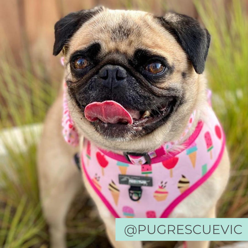 Dog wearing Pink dog harness with ice cream and donut sprinkles designed in Australia.