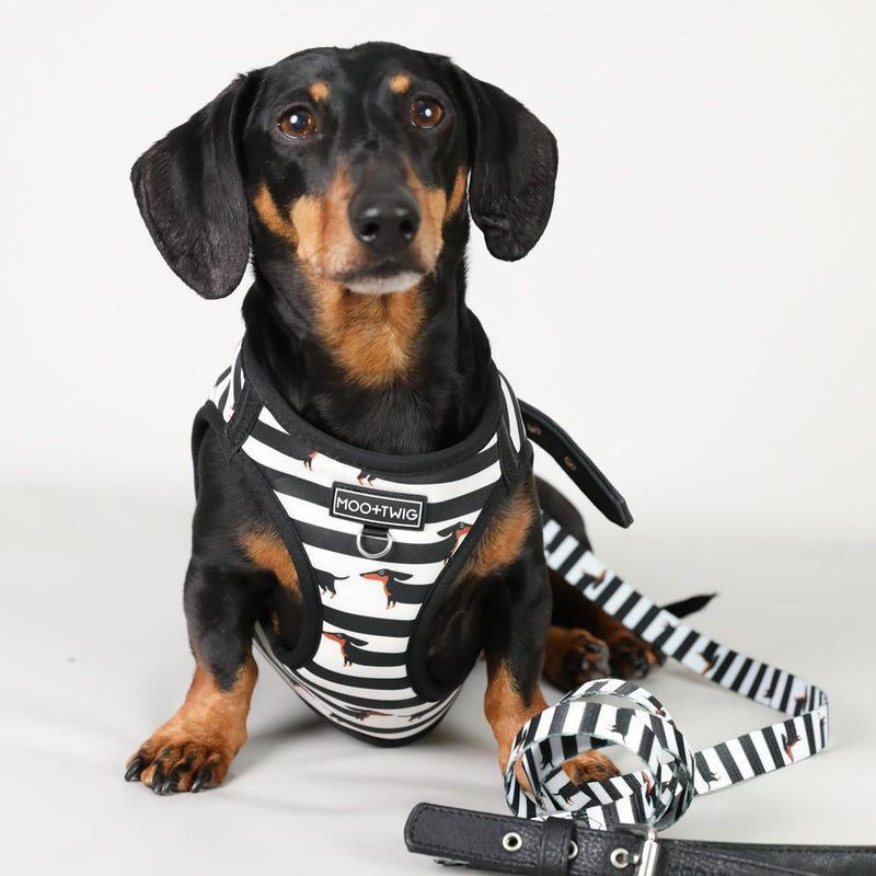 Dachshund wearing black and white step in dog harness, Best harness for dachshunds, Dachshund Harness