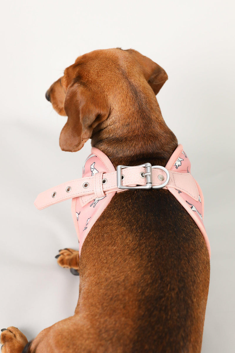 Dachshund Harness, Dachshund wearing dog harness, Miniature dachshund harness, Step In Dog Harness for Dachshunds, Dog Harness Australia, Sausage Dog Wearing best harness for dachshunds