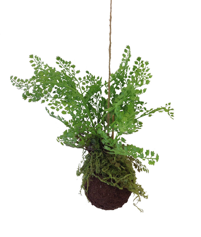 "Maidenhair Fern Kokedama Ball 4.5"" X 12"""