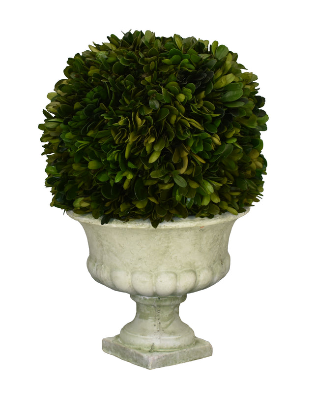 "Preserved Boxwood Ball 8"" X 12"" Footed Urn"