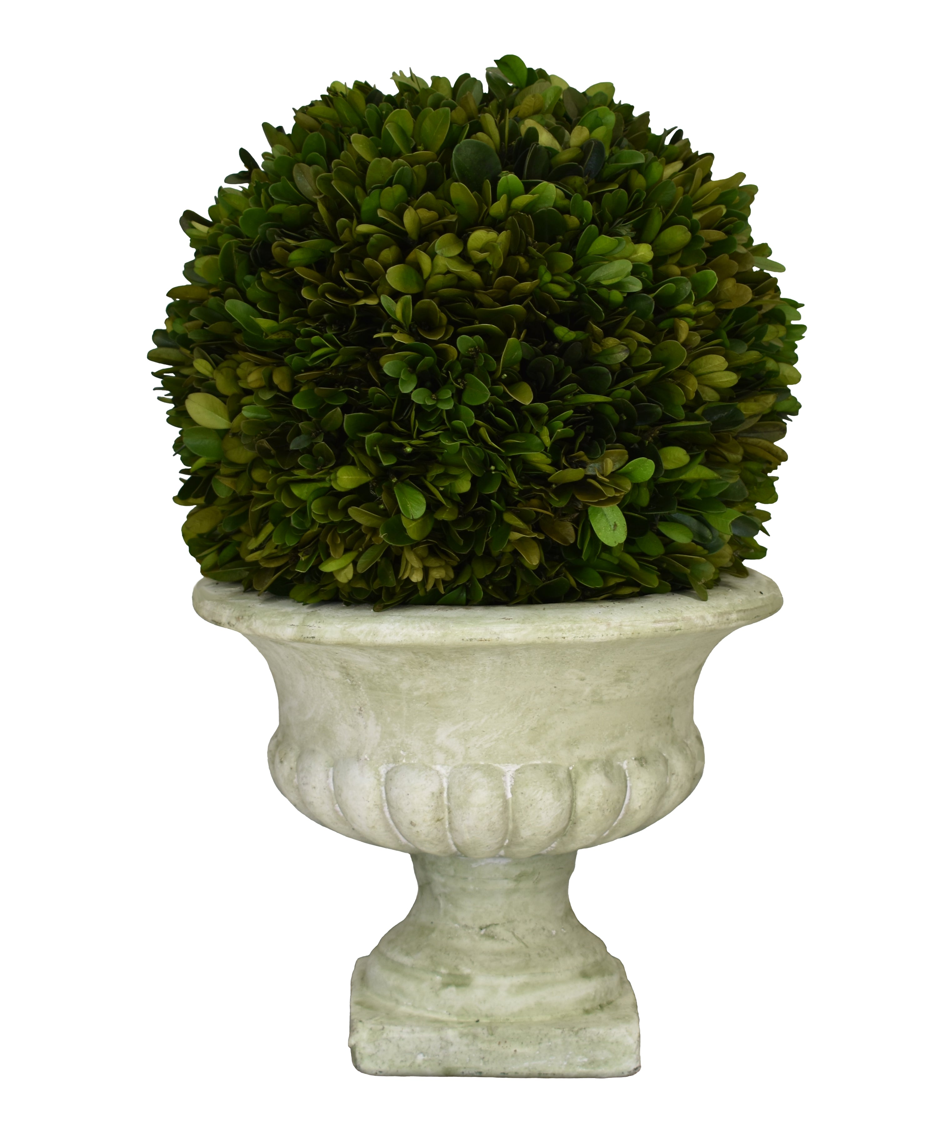 "Preserved Boxwood Ball 10"" X 16"" Footed Urn"