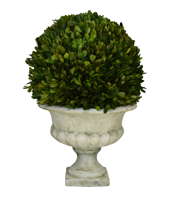 "Preserved Boxwood Ball 12"" X 20"" Footed Urn"
