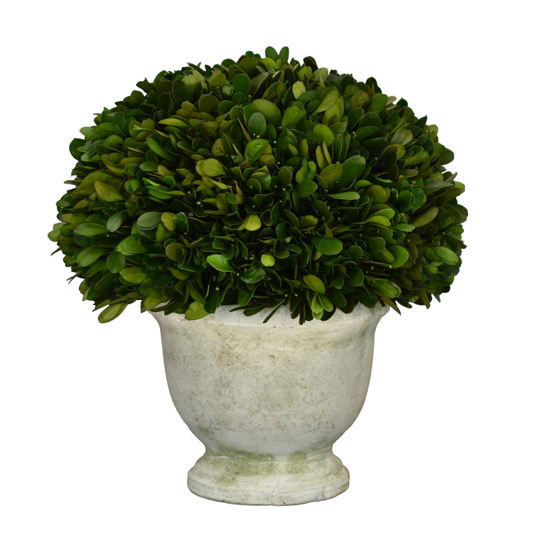 "Boxwood Half Ball in Footed Pot 9"" X 10.3"""