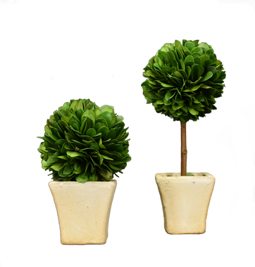 Mini Preserved Boxwood - Set of 2