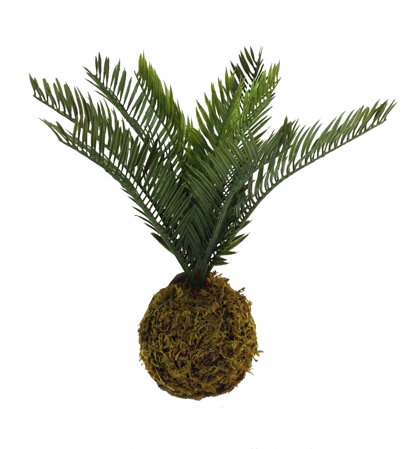Moss Ball Palm Fern 12""