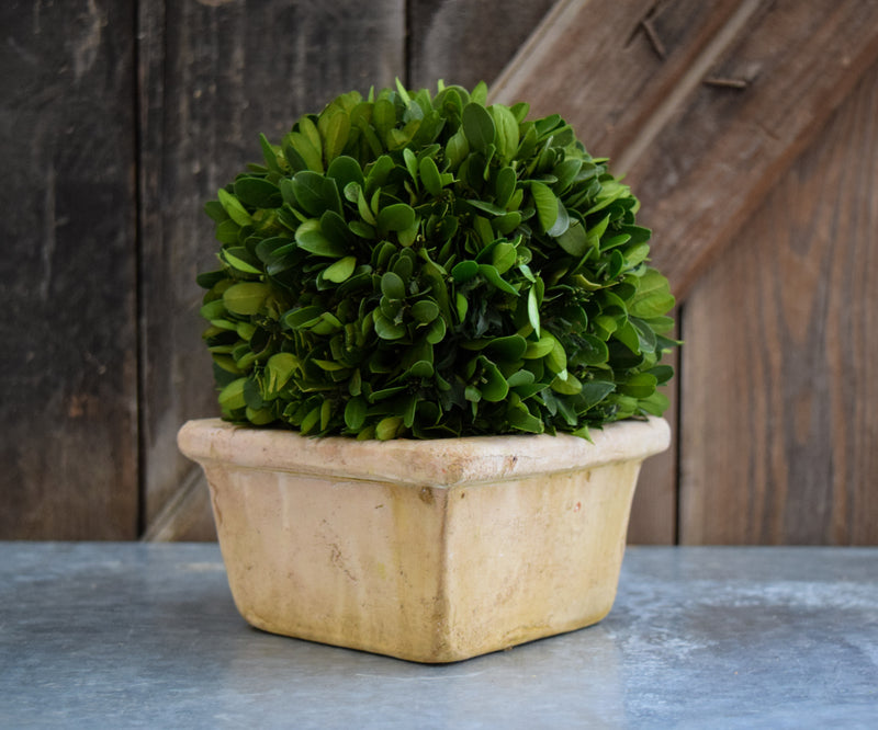 Preserved Boxwood Ball on Pot - 8""