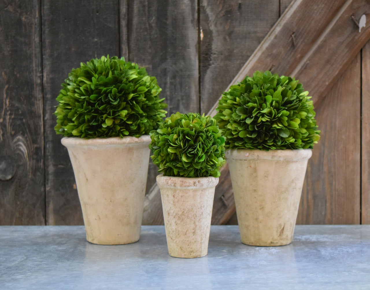 Preserved Boxwood Ball in Pots - Set of 3