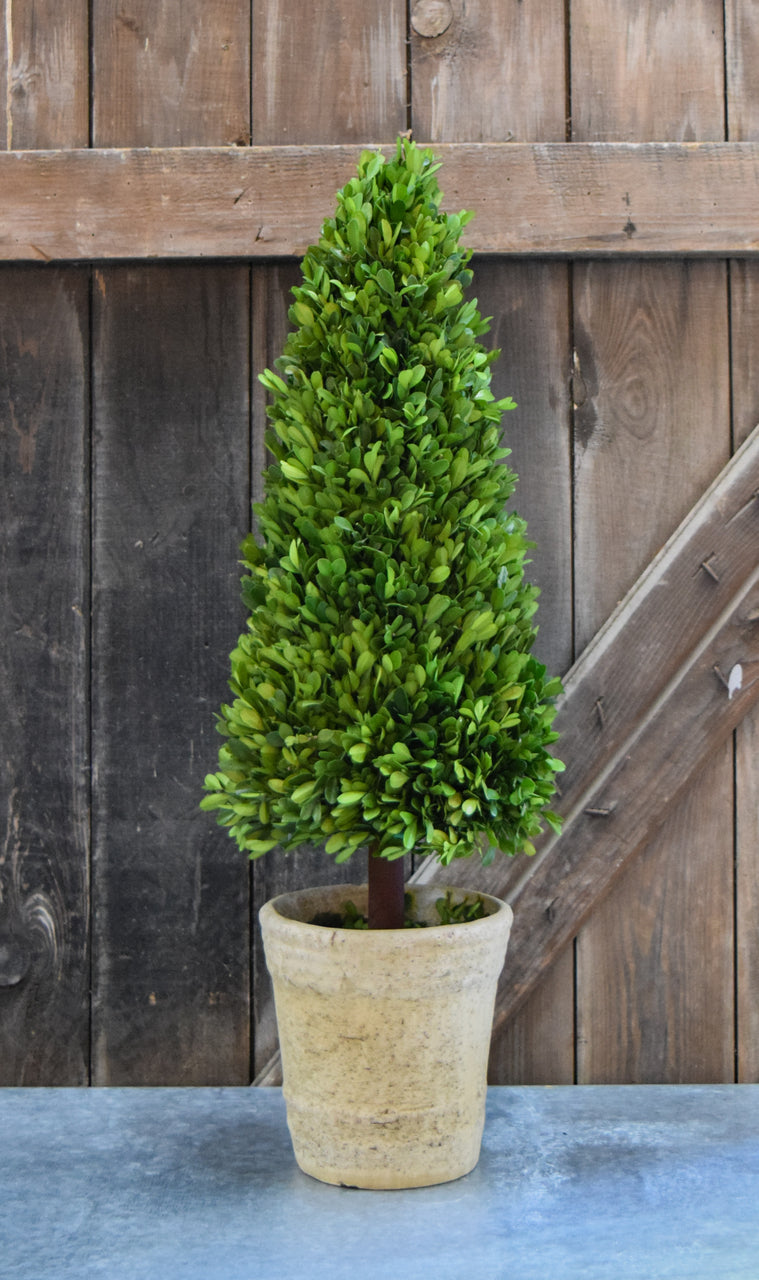 Preserved Boxwood Cone Topiary - 30