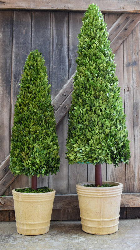 Preserved Boxwood Cone Topiary - 43""
