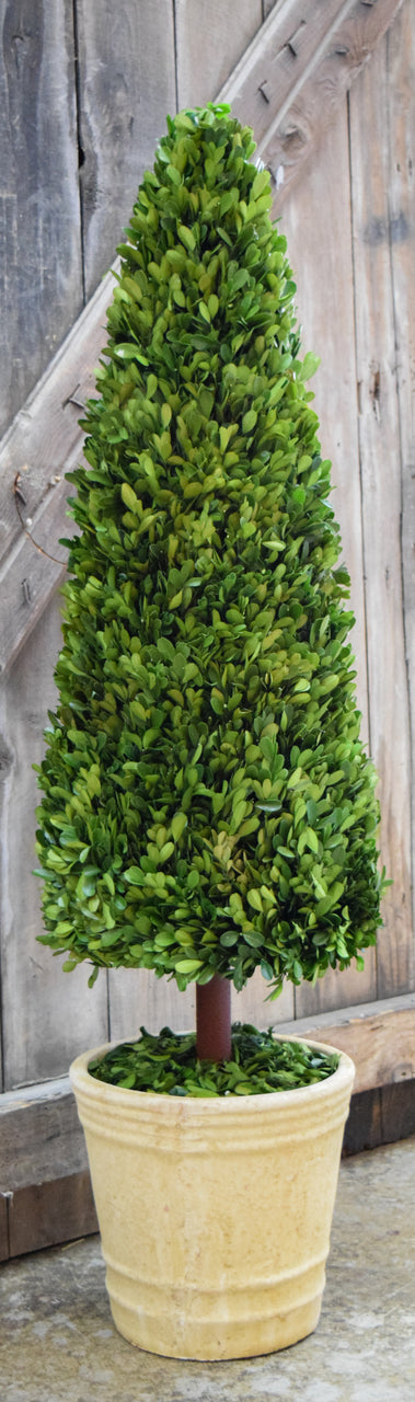 Preserved Boxwood Cone Topiary - 43