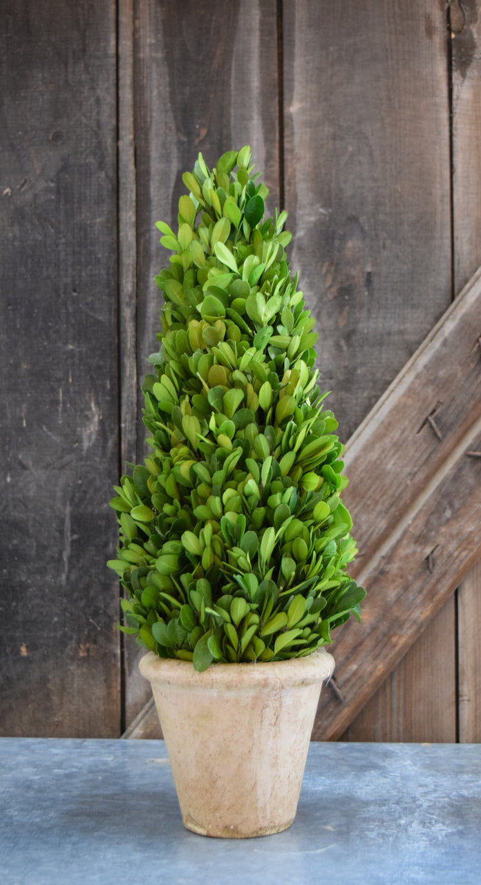 Preserved Boxwood Cone Topiary - 16