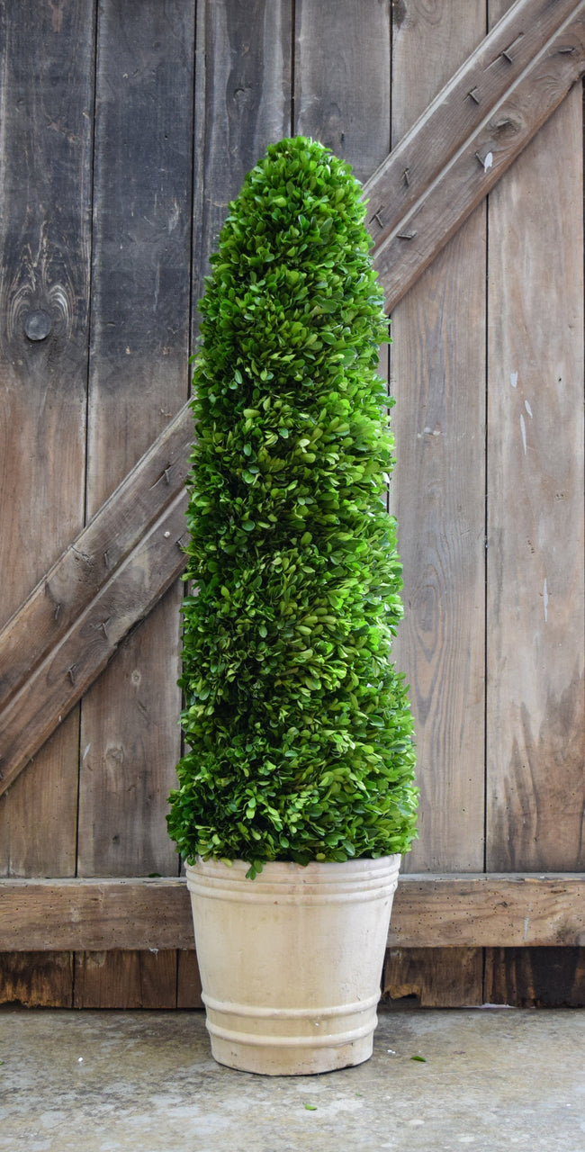 Preserved Boxwood Spiral Topiary - 43