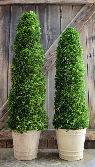 Preserved Boxwood Spiral Topiary - 43""