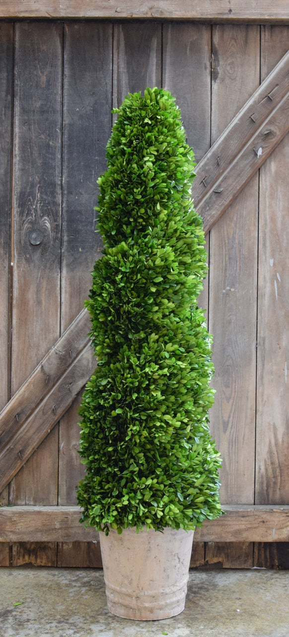 Preserved Boxwood Spiral Topiary - 51