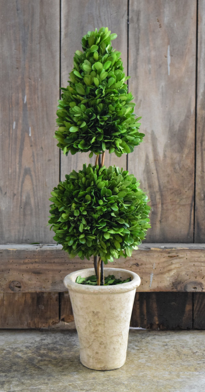 Preserved Boxwood Mixed Topiary - 24