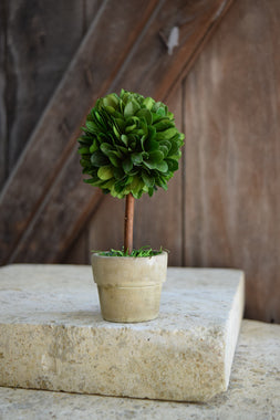 Mini Boxwood Topiary - 6