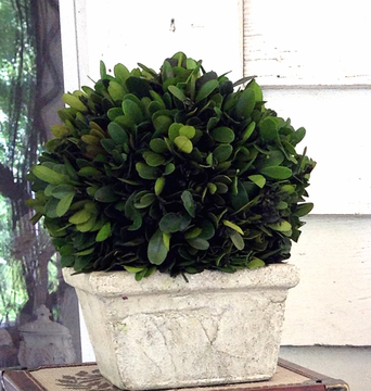 "Preserved Boxwood Ball in Square Pot - 8"" - HOME DECORATIVE ACCENTS - 2"