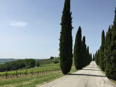 Cypress trees in Italian countryside
