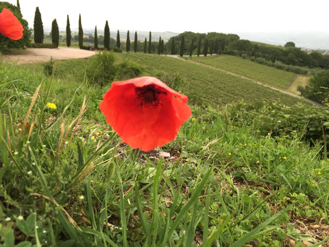 poppy in tuscan countryside umbria italy travel