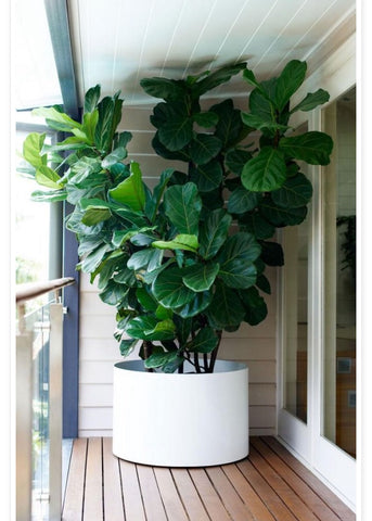 huge plant. mediterranian look. beautiful home garden. green apartment. green living
