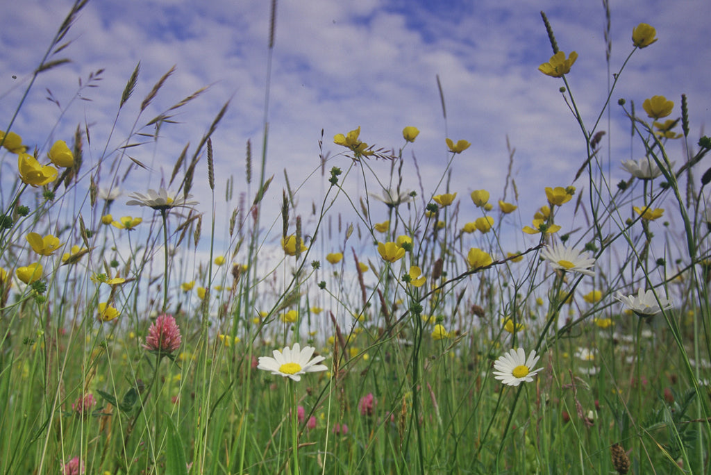 'Meadow Maker' Wild flower seed mixture