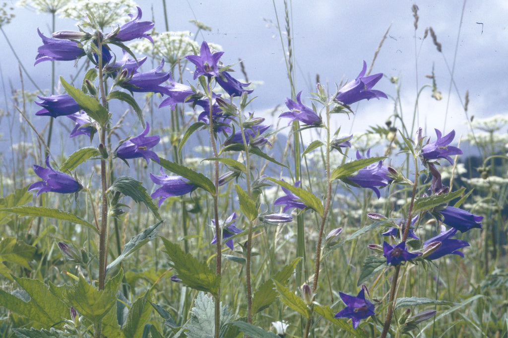 Giant bellflower (Campanula latifolia)