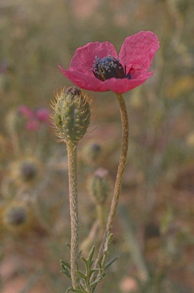 Adopt a Flower - Rough Poppy
