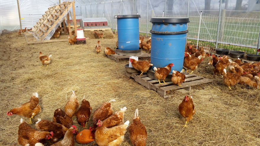 Chickens In The Greenhouse In The Winter Bestnestboxcom