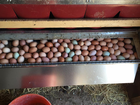 Roll out chicken nest box with clean eggs