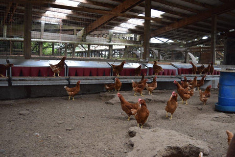 Chicken barn with roll out nest boxes