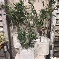 Medium Potted Olive Bush
